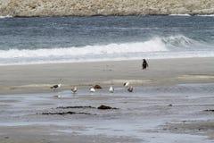 Pinguïnen - Magellan en Gentoo royalty-vrije stock fotografie