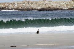 Pinguïnen - Magellan en Gentoo royalty-vrije stock afbeeldingen