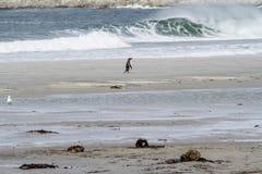 Pinguïnen - Magellan en Gentoo stock foto