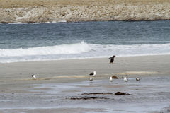 Pinguïnen - Magellan en Gentoo royalty-vrije stock foto