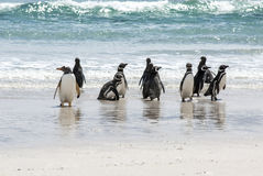 Pinguïnen - Magellan en Gentoo op het strand Stock Foto