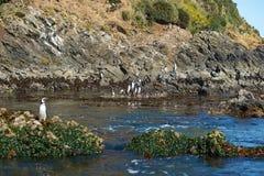 Pinguïnen op Chiloé royalty-vrije stock afbeelding