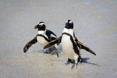 Pinguïnen op het strand Royalty-vrije Stock Fotografie