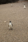 Pinguïnen in Punta Tombo, Argentinië Stock Foto