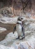 Pinguïnen van Moskou royalty-vrije stock afbeelding