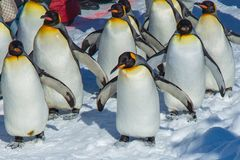 Pinguïnenparade door openlucht het lopen oefening stock foto's