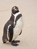 Pinguim Fotos de Stock Royalty Free