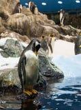 pinguim Fotografia de Stock Royalty Free