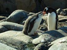 Pinguim adulto do gentoo que alimenta um pintainho imagem de stock royalty free
