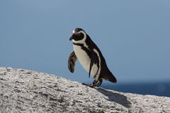 Pinguim africano Fotografia de Stock
