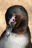 Pinguim africano Imagens de Stock