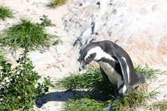 Pinguim africano na praia Fotografia de Stock Royalty Free