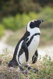 Pinguim africano na praia Imagens de Stock