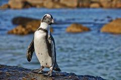 Pinguim africano na praia dos pedregulhos Imagens de Stock Royalty Free
