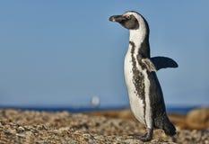 Pinguim africano na praia dos pedregulhos Foto de Stock