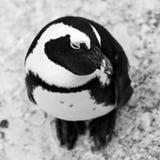 pinguim africano Preto-footed no fim acima fotografia de stock royalty free