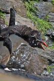 Pinguim agressivo de Rockhopper Fotografia de Stock