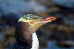 pinguim Amarelo-eyed Fotografia de Stock Royalty Free