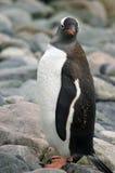 Pinguim antárctico de Gentoo Imagem de Stock