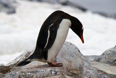 Pinguim antárctico de Gentoo Fotos de Stock
