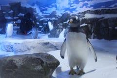 Pinguim a Antártica do aquário foto de stock