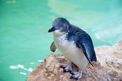 Pinguim azul pequeno: Ilha do pinguim fotos de stock royalty free