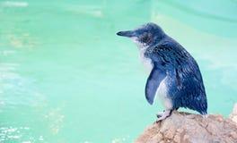 Pinguim azul pequeno no perfil foto de stock royalty free