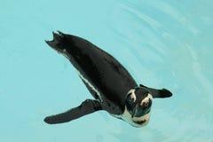 Pinguim Blackfoot Fotografia de Stock