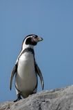 Pinguim bonito foto de stock royalty free