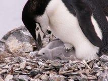 Pinguim com dois pintainhos Imagem de Stock