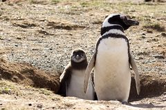 Pinguim com pintainho Fotografia de Stock