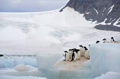 Pinguim Continente antárctico de Adelie Fotos de Stock Royalty Free