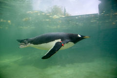 Pinguim da natação Fotografia de Stock Royalty Free
