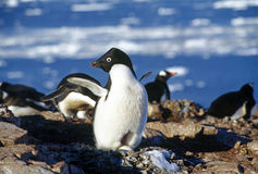 Pinguim de Adelie Imagens de Stock