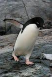 Pinguim de Adelie, Continente antárctico Imagem de Stock Royalty Free