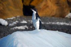 Pinguim de Adelie em um iceberg Foto de Stock Royalty Free