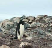 Pinguim de Adelie na ilha dos peixes, a Antártica foto de stock