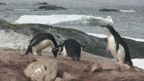 Pinguim de Adelie que alimenta um pintainho adulto no oceano na ilha antártica filme