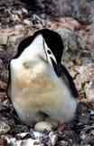Pinguim de Chinstrap imagens de stock