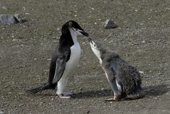 Pinguim de Chinstrap foto de stock royalty free