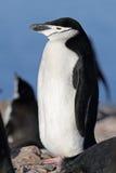 Pinguim de Chinstrap, Continente antárctico Imagens de Stock