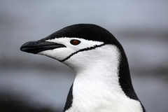 Pinguim de Chinstrap na Antártica imagens de stock royalty free