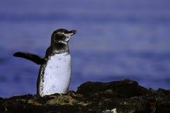Pinguim de Galápagos Fotografia de Stock
