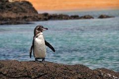 Pinguim de Galápagos fotos de stock royalty free