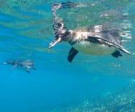Pinguim de Galápagos Imagens de Stock