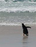 Pinguim de Gentoo foto de stock royalty free