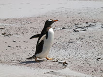 Pinguim de Gentoo imagem de stock royalty free