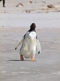 Pinguim de Gentoo fotografia de stock