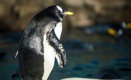 Pinguim de Gentoo Foto de Stock