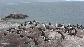 Pinguim de Gentoo com pintainho filme